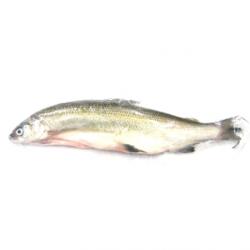 Fera du Léman (1 poisson, 700g) - disponibilité selon pêche