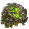 Salade feuille de chêne brune bio (piece)