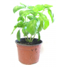 Basilic en pot 10cm - SUR PLACE UNIQUEMENT